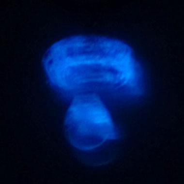 Champignon phospho bleu